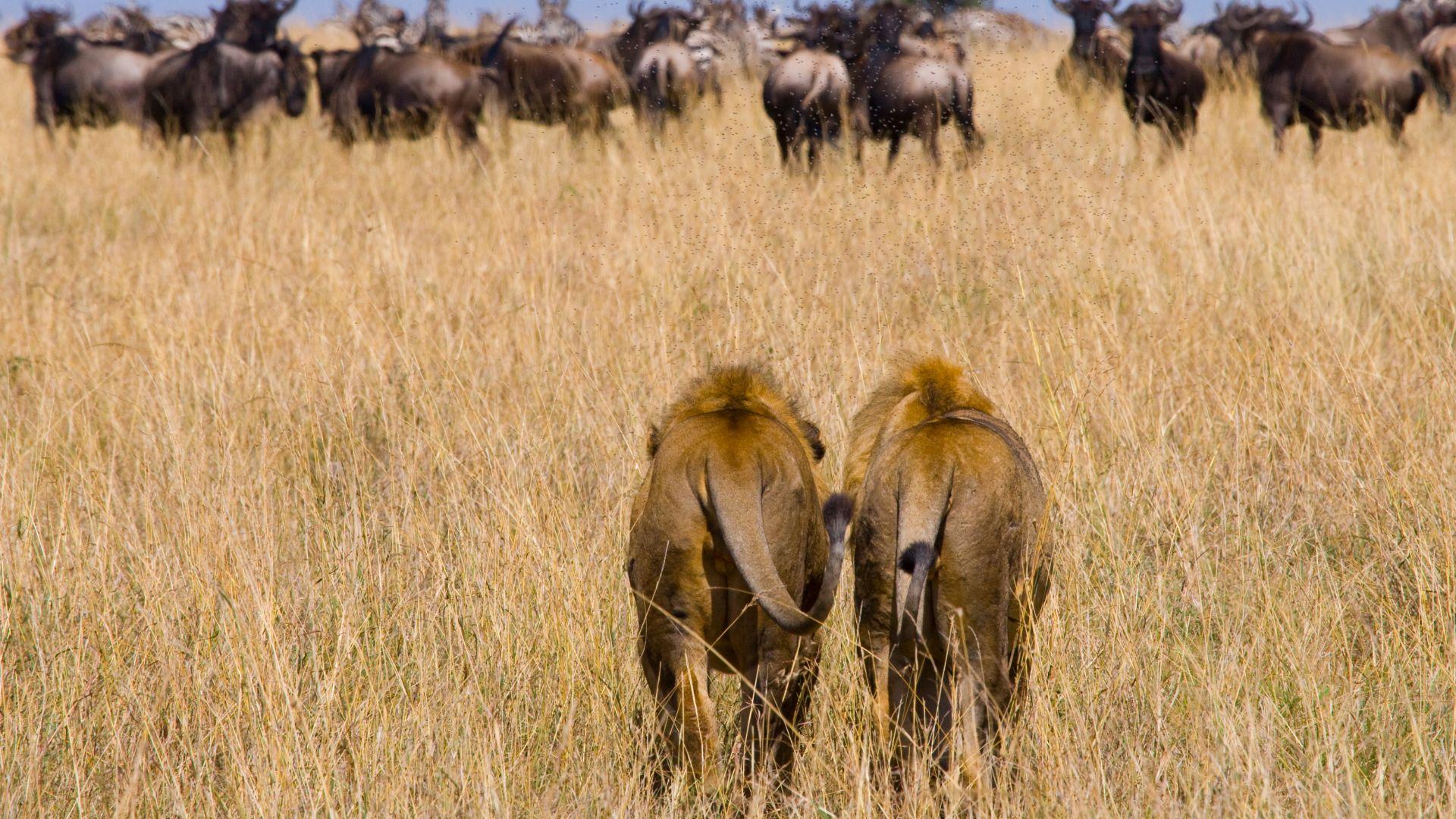שני אריות שותפים בתוכנית עסקית
